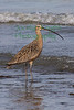 Long-Billed Curlew2758