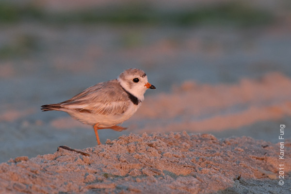 2 July: Piping Plover at Nickerson Beach, 5:40am