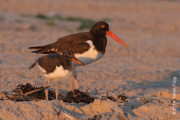 2 July: American Oystercatchers at Nickerson Beach, 5:47am