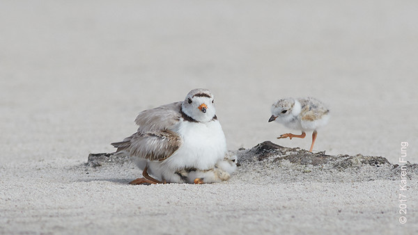 18 June: Piping Plover with Three  Chicks