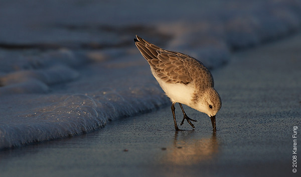 October 12th: Sanderling at Nickerson Beach