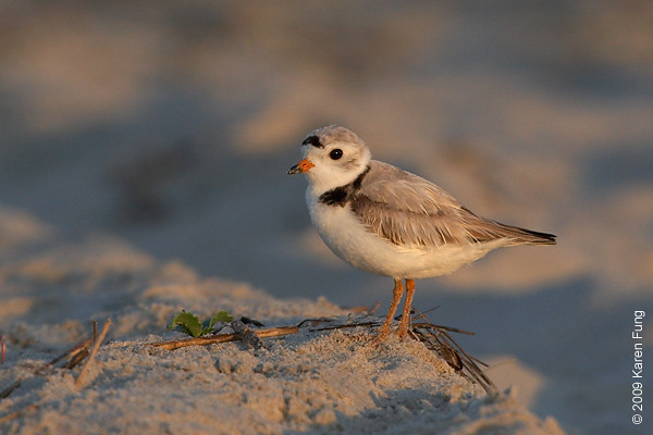 June 30th: Piping Plover at Nickerson Beach, shortly after dawn