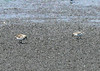 White-rumped Sandpiper and Semipalmated Sandpiper