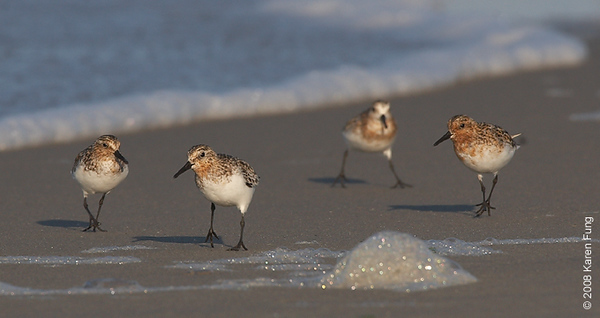 July 11th: Sanderlings strolling at Nickerson Beach