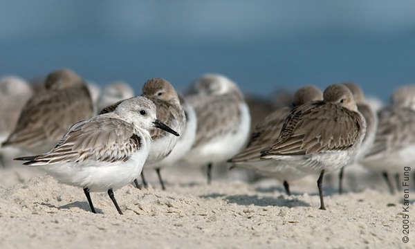 Sanderlings and Dunlin at Barnegat Light, NJ