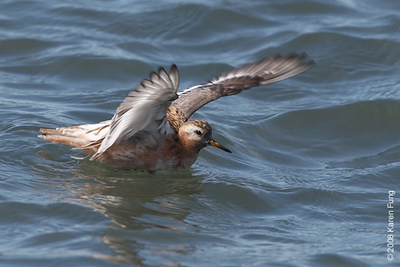 May 24th: Red Phalarope stretching his wings at Shinnecock Inlet