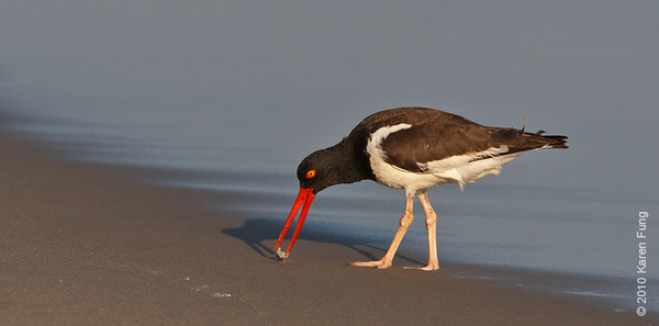 27 July: American Oystercatcher and shadow