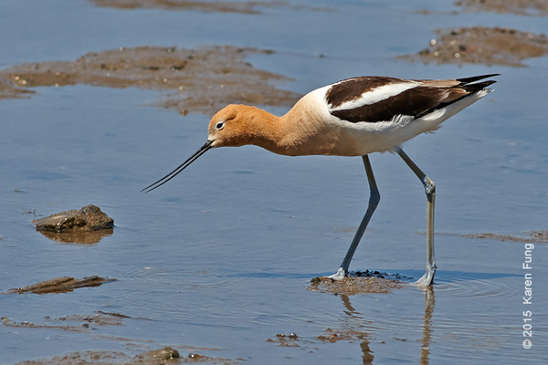 13 June: American Avocet in Piermont, NY (Rockland Co.)