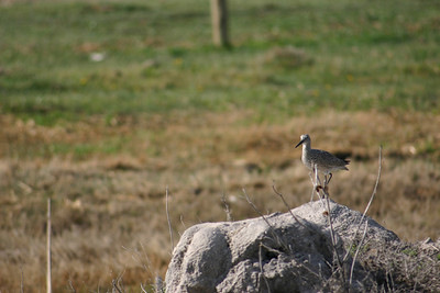 Willet on a rock.  Photo by Scott Root, Utah Division of Wildlife Resources