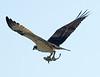 Osprey-shark9625
