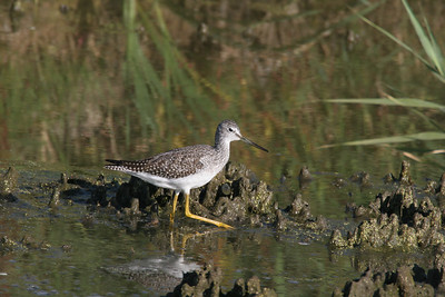 Yellowlegs at Ogden Bay Waterfowl Management Area.  Photo by Phil Douglass, Utah Division of Wildlife Resources.