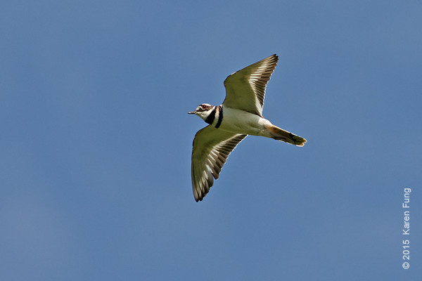 25 May: Killdeer in flight at Shawangunk Grasslands NWR