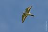 25 May: Killdeer in flight at Shawangunk Grasslands NWR