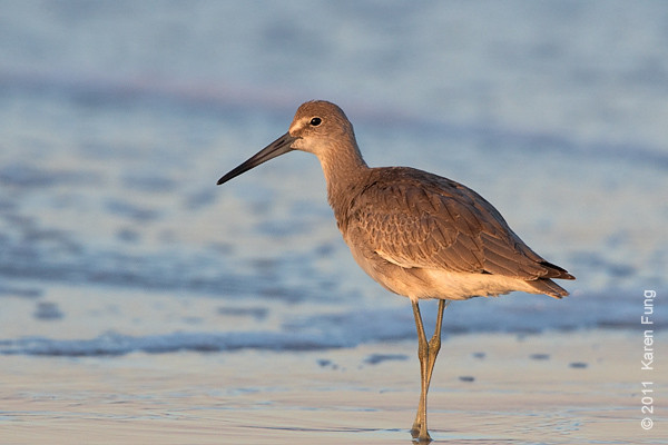 1 September: Willet at Nickerson Beach