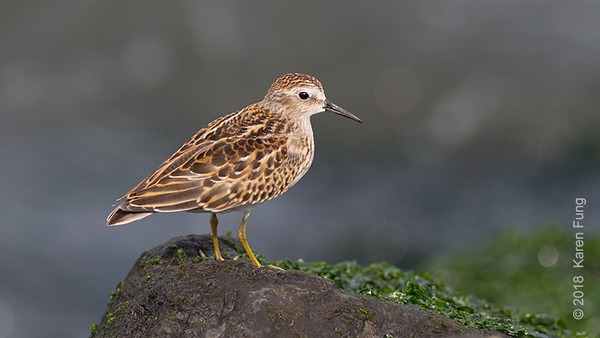 7 Sept: Least Sandpiper, Governors Island