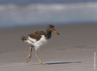July 11th: Young Oystercatcher at Nickerson Beach
