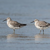 Great Knots (Calidris tenuirostris)