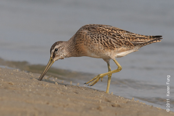 4 September: Short-billed Dowitcher at Cupsogue County Park