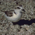Snowy plover. Utah Division of Wildlife Resources photo