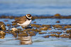 Semipalmated Plover<br /> Lansing, NY