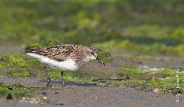 6 August: Semipalmated Sandpiper at Cupsogue County Park