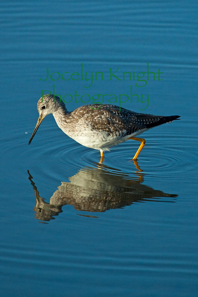 YellowLegs(8x12)3695