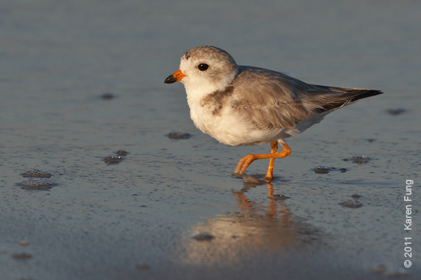 2 July: Piping Plover at Nickerson Beach, 6:30am