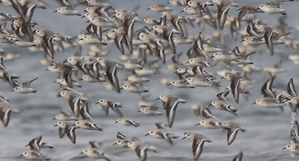 October 14th: Sanderlings (and a few Dunlin) in flight at Nickerson Beach
