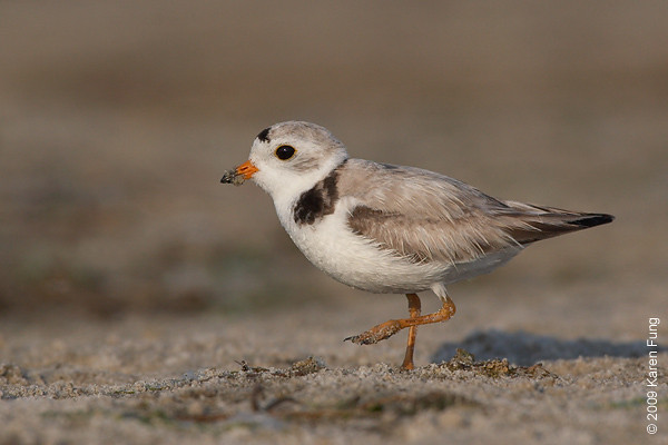 June 30th: Piping Plover at Nickerson Beach