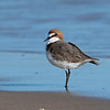 Red-capped Plover (Charadrius ruficapillus)