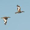 Beach Stone-curlew pair (Esacus magnirostris)