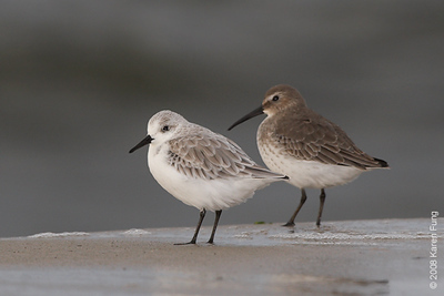 October 14th: Sanderling and Dunlin at Nickerson Beach