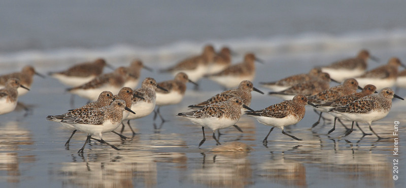27 May:  Sanderlings on the move at Nickerson Beach