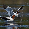 Red-necked Avocet (Ephippiorhynchus asiaticus)