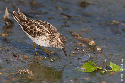 May 13th: Least Sandpiper feeding in Central Park (Lower Lobe)