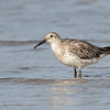 Great Knot (Calidris tenuirostris)