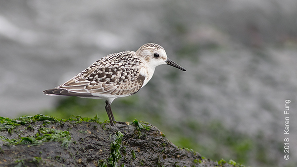 7 Sept: Sanderling, Governors Island