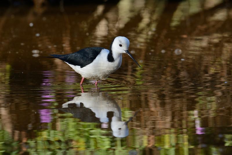 Black-winged Stilt (Himantopus himantopus), Tallebudgera Creek, Burleigh Heads, Queensland.