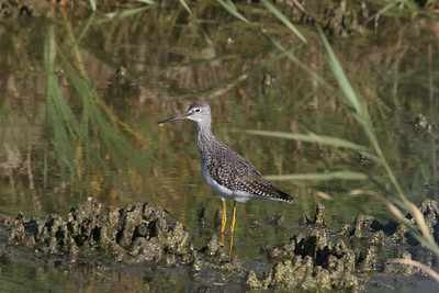 Yellow legs at Ogden Bay Waterfowl Management Area.  Photo by Phil Douglass, Utah Division of Wildlife Resources.