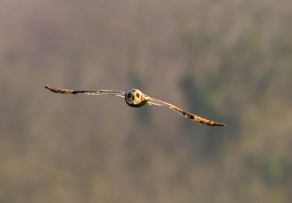 Short Eared Owls - Wyke Down 30 Mar 2012