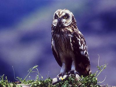 Hawaiian Owl