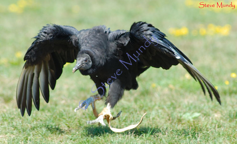 Vulture footrace