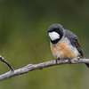 Rufous Whistler male (Pachycephala rufiventris)