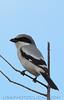 Loggerhead Shrike (b1951)