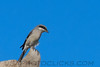 Loggerhead Shrike (b1953)