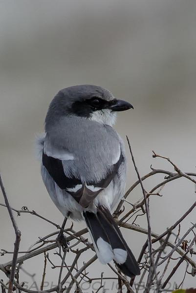 Loggerhead Shrike (b1952)