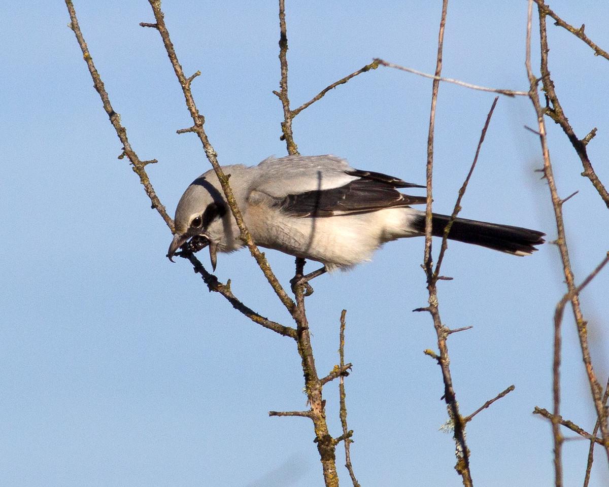 Northern Shrike coughing up pellet