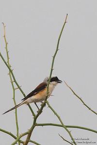Bay-backed Shrike - Kutch, Gujrat, India