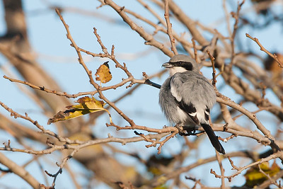 Loggerhead Shrike - Lodi area, CA, USA