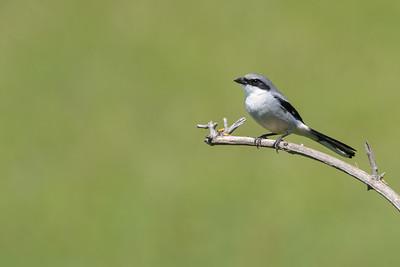 Loggerhead Shrike - San Benito County, CA, USA